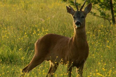 На Буковині браконьєри вбили двох козуль: як покарають порушників