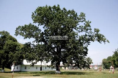 Невідома Буковина: 300-літній дуб зі старовинним палацом
