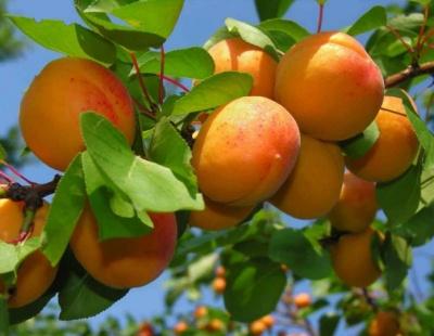 Персик та абрикос – для настрою