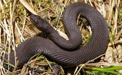 На Буковині чоловіка, який збирав гриби, змія вкусила за пальці руки