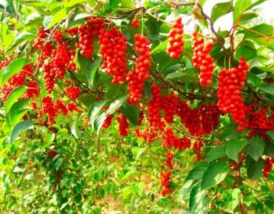 Чай з якої рослини допомагає лікувати імпотенцію та знімати стрес