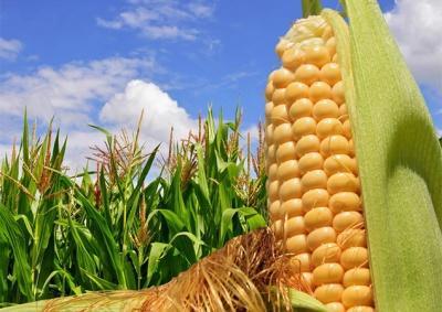 В Україні очікують рекордний урожай кукурудзи