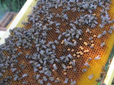 У бджіл треба вчитись порядку: подружжя з Чернівців розповіло про невтомну працю біля вуликів