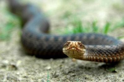 На Буковині чоловік потрапив у реанімацію через укус змії