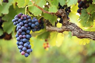 Кому не можна їсти виноград