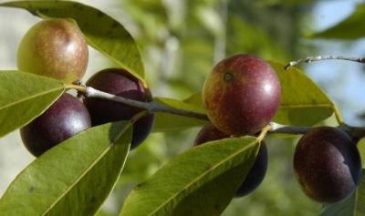 Назвали найкращий фрукт для схуднення