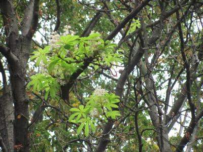 У Чернівцях посеред осені зацвіли каштани: експерт пояснив, чому