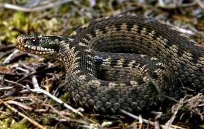На Буковині змія вкусила 6-річного хлопчика, коли той повертався зі школи