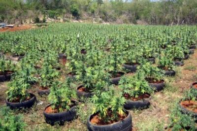 У Грузії церква завадила легалізації вирощування марихуани