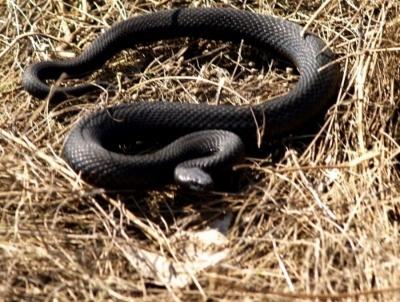 На Буковині змія вкусила юнака біля будинку: хлопець у реанімації