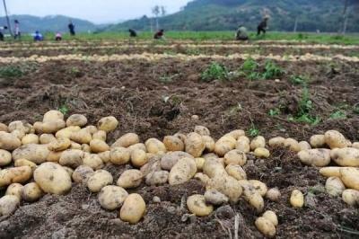 Що треба робити з грядкою після збирання картоплі: корисні поради