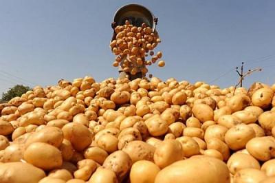 Картоплі вистачить: фермери Буковини розповідають про хороші врожаї