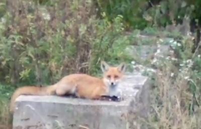 «Чекає курей»: на Буковині лисиця вляглася прямо біля житлового будинку - відео