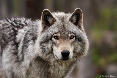 На Тернопільщині вовк напав на жінку прямо біля будинку