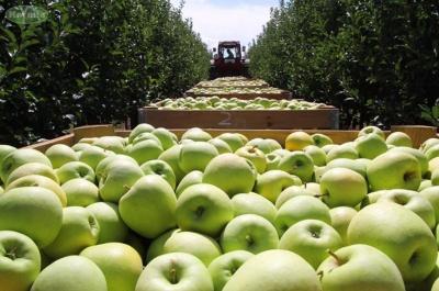 На Буковині садівники погрожують пікетами через рекордне зниження цін на яблука