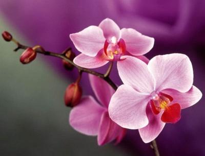 Як правильно обрати орхідею в магазині чи оранжереї: загальні правила