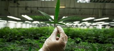 Легалізація марихуани в Канаді: продають печиво, сендвічі та льодяники з наркотиком