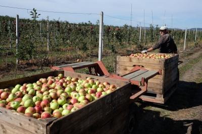 70 копійок за кілограм: фермери Буковини обурені низькими цінами на яблука
