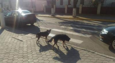 У райцентрі на Буковині безпритульні собаки покусали юнака