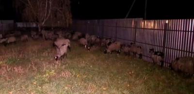 Фуру з вівцями розвантажили у Тульчині, із 300 тварин загинули 54