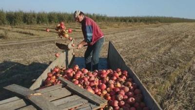 Через низькі ціни на яблука фермер з Буковини пустив свій урожай на удобрення полів - відео