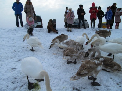 У Чорториї на озері зимує сотня лебедів-шипунів - фото