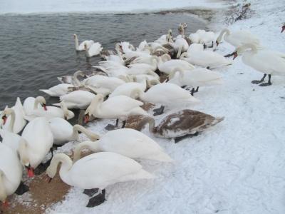 На Буковині ветеринари просять не годувати хлібом лебедів у Чорториї
