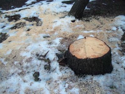 У Чернівцях Зелентрест хочуть зобов'язати висаджувати молоді дерева замість кожного зрубаного
