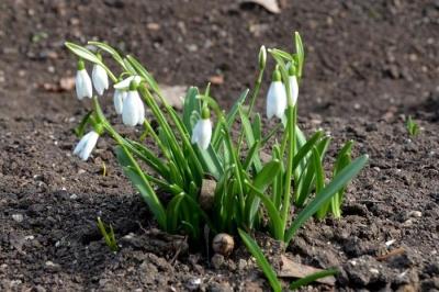 Весна близько: у заповіднику Асканія-Нова зацвіли підсніжники - фото