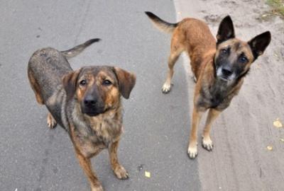 Масові отруєння собак у Чернівцях: поліція розслідуватиме справу