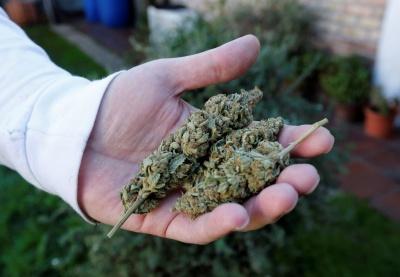 ВООЗ радить змінити статус марихуани