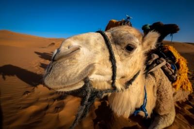 Верблюд поліцейського після смерті господаря мучить себе голодом