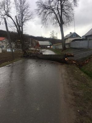 На Буковині сильний вітер вирвав з корінням дерево - фото