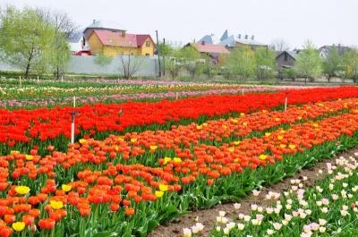 Чим здивує цього року тюльпанове поле на Буковині