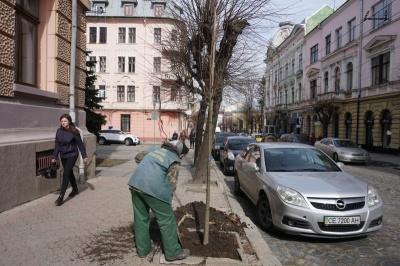 «Купили дорогі, бо дешеві сохнуть»: у Чернівцях висаджують липи по 3 тисячі грн за саджанець