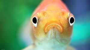Американця заарештували за жорстоке поводження з акваріумною рибкою