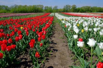 Фотозони і флешмоб: як розважатимуть гостей фестивалю тюльпанів на Буковині