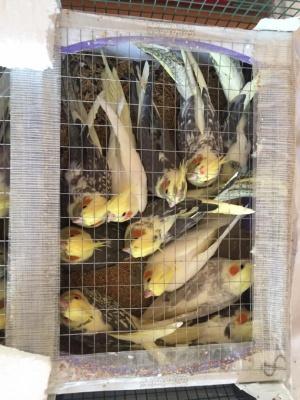 Чоловік намагався перенести через кордон ящик зі 150 папугами