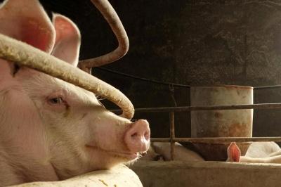 Україна скоротила експорт свинини в 1,5 рази