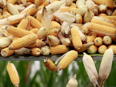 Мінсільгосп США підвищив прогноз врожаю кукурудзи в Україні