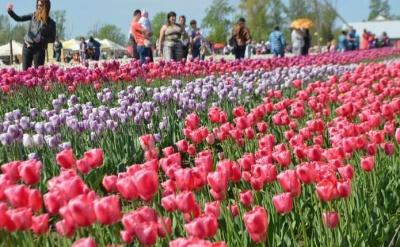 Сьогодні на Буковині розпочинається фестиваль тюльпанів