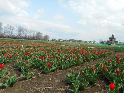 Как выглядит тюльпанное поле на Буковине с высоты птичьего полета - видео