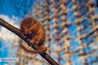 «Чорнобильський лемур»: У зоні відчуження фотограф зафіксував ліскульку