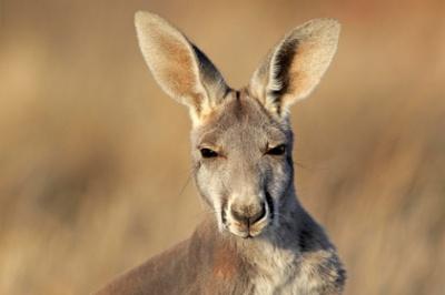 В Австралії кенгуру атакував напівголих дівчат, які знімали рекламний ролик