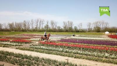 Як виглядає «тюльпанова» карта України на Буковині – вражаючі фото