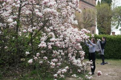 У Чернівцях на території ЧНУ розквітли магнолії – фото