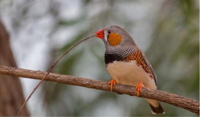 У співочих птахів виявили зайву хромосому