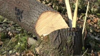 Зелентрест Чернівців можуть зобов'язати висаджувати нові дерева замість кожного зрубаного
