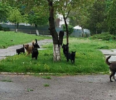 «Син не може дійти до школи»: чернівчани скаржаться на зграю бродячих собак біля школи №27