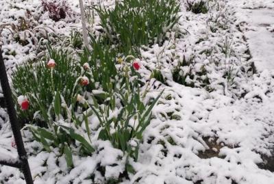 Природні аномалії: у Путилі серед травня випав сніг – фото